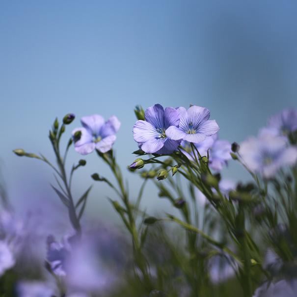 ferme_villedieu_lin_hiver_floraison2